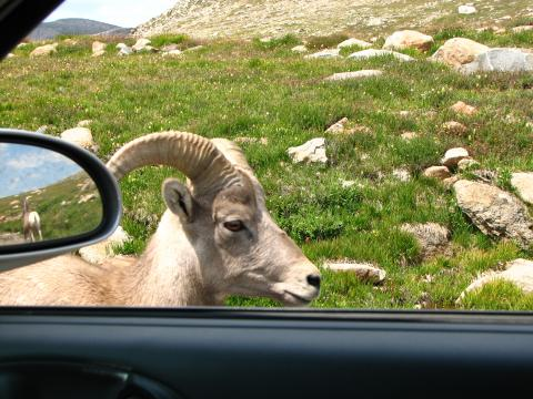 On my trip to Colorado I drove up Mt. Evans.  Some big horned sheep walked right by my car!