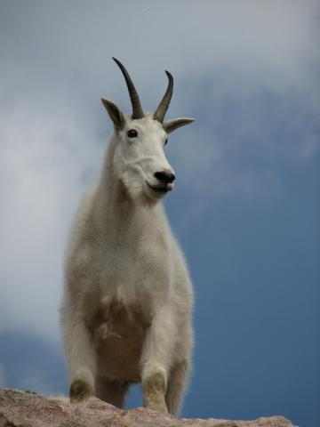 Up at the top of the mountain, I got to see some mountain goats up close.  They didn't seem scared of people at all.