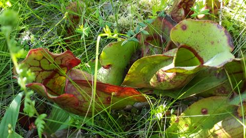 I saw lots of really neat carnivorous pitcher plants.  They eat flies!