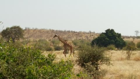 We saw many giraffes too.