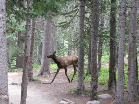 A baby elk crossed our path while we were hiking.