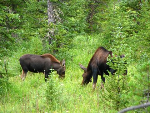 A mother and baby moose enjoying some lunch.