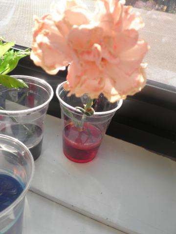 Our red carnation didn't do much until I added a lot more dye.  Then the color came through.